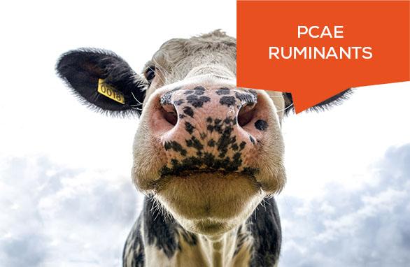 PCAE Elevage Ruminant